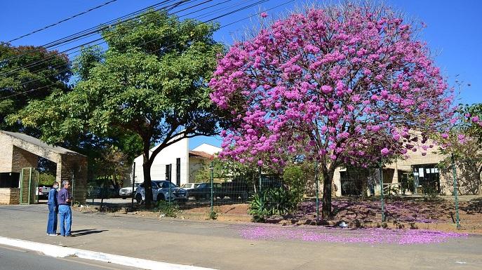 Imagem de destaque Montes Claros está mais bonita na temporada dos ipês-roxos