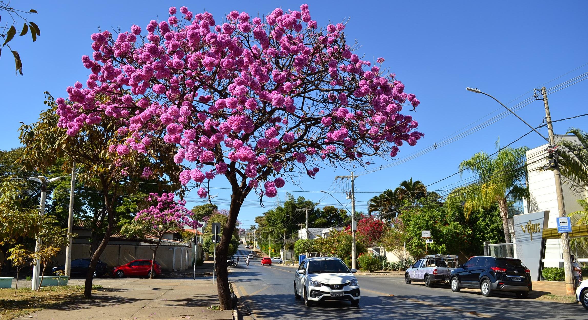 Imagem de destaque Ipês-roxos e barrigudas deixam Montes Claros mais charmosa